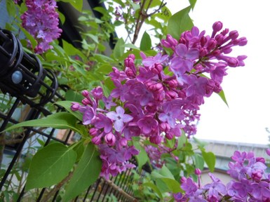 Lilac_041