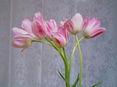 Tulip_029