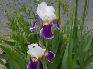Iris_021